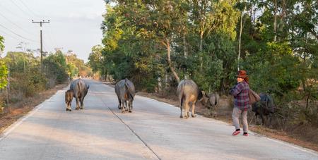 SAKON NAKHON, FEBRUARY 1, 2019- Buffalo herd in a countryside village, Thailand. Editorial
