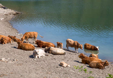 Cows on the shore of Giacopiane lake, an artificial reservoir located in the Sturla valley in the municipality of Borzonasca, inland of Chiavari, Genoa province, Italy