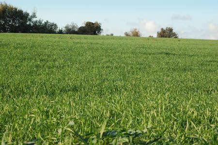 wheat field - Green hill landescape photo