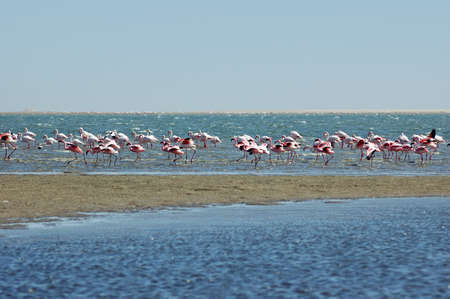 Pink flamingos is flying over the sea, Walvis Bay, Namibia