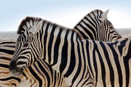closeup of a beautiful zebra photo