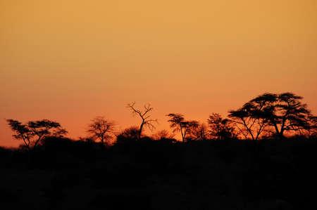 acacia tree: Beautiful african sunset, with acacia tree silhouette.