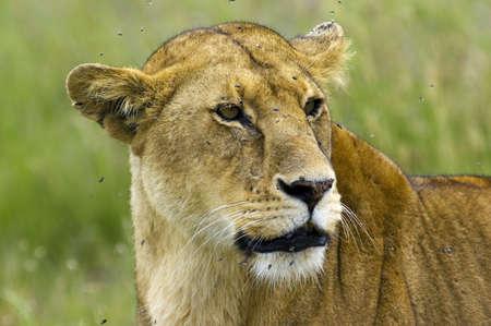 africat: Lioness close-up - Safari in the Serengeti National Park - Tanzania Stock Photo