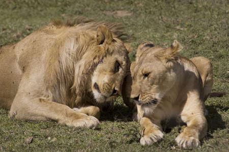 africat: Lion couple in love - Safari in the Serengeti National Park - Tanzania Stock Photo