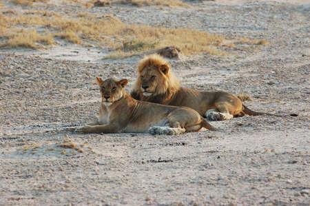africat: Lion couple in  - Safari in the Etosha National Park - Namibia