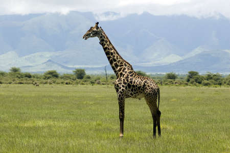 Giraffe in the Lake Manyara National Park - Best of Tanzania photo