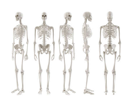 skeletal: five Skeletons turnaround isolated on white background Stock Photo