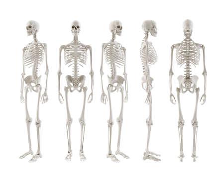 anatomic: five Skeletons turnaround isolated on white background Stock Photo