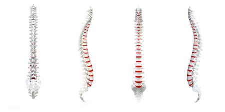 medula espinal: Columna vertebral humana, con cambio de color rojo del disco vertebral aislada Foto de archivo