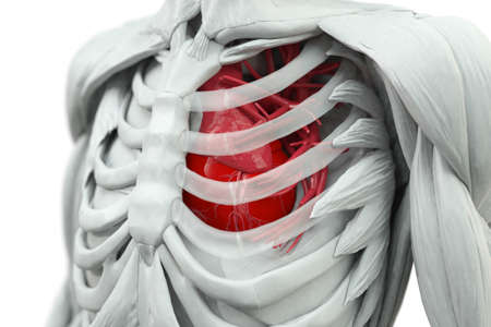 detail of heart muscle: Torso with heart in red and glas rips Stock Photo