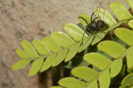 Black ant (scientific name Camponotus crassus) on leaves