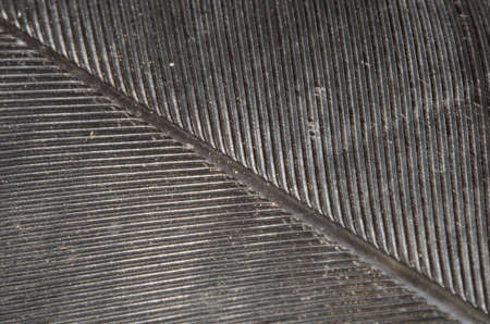 Macro of a black quill feather texture Imagens