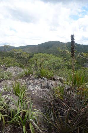 Vriesea Bromeliads from brazilian cerrado (family Bromeliaceae) at nature