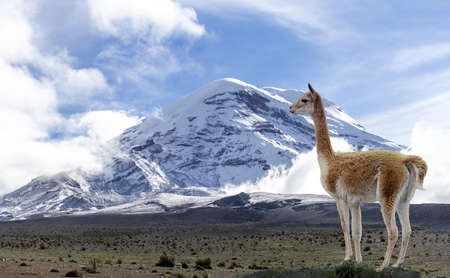 Lone vicuña standing at the foot of the Chimborazo volcano in Ecuador. Travel in South America Reklamní fotografie