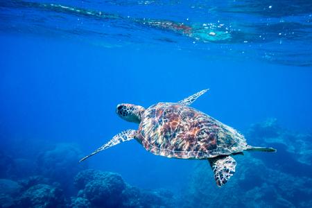 Tortue à la Grande Barrière de Corail