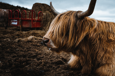 Highland cattle in the nature of Scotland