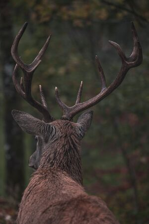 """Red Deer in the nature of the """"Black Forest"""""""