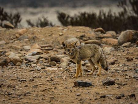 Chile wild desert fox view