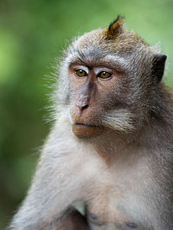 A monkey in the secred monkey forest in Ubud, Bali Indonesia close up portrait thinkful Stock Photo