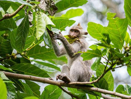 A monkey in the secred monkey forest in Ubud, Bali Indonesia eating a big leaf