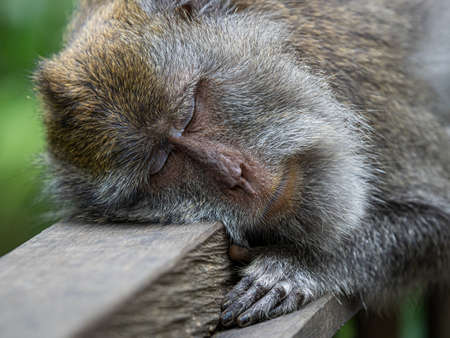 A monkey in the secred monkey forest in Ubud, Bali Indonesia, sleeping on a handrail Stock Photo
