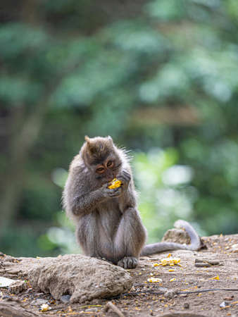 A monkey in the secred monkey forest in Ubud, Bali Indonesia, eating corn, beautiful background