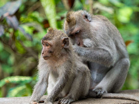 Two monkey in the secred monkey forest in Ubud, Bali Indonesia, cleaning each other Stock Photo