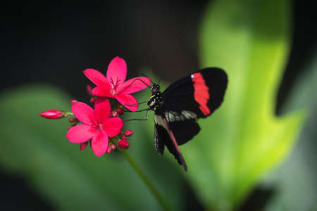 Black and red butterfly on a pink flower in the park