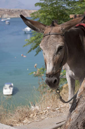 lindos: Donkey taxi in Lindos