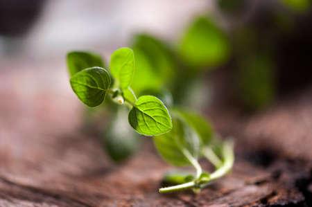 oregano: green fresh oregano Stock Photo