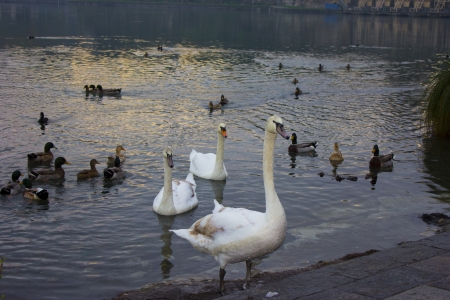 Photo of a river with swans and geese photo