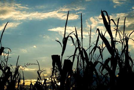 mais: sunset through mais Stock Photo