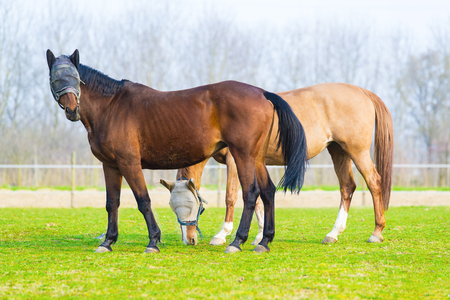blinders: pair of free horses with blinders Stock Photo