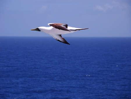 booby: brazilian booby - sulla dactylatra