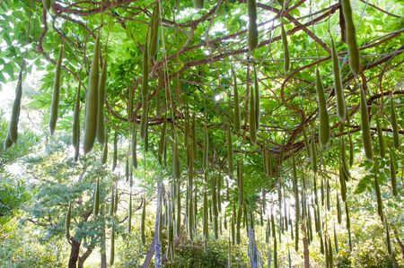 multitude: Multitude of wisteria pods in green garden view from the ground