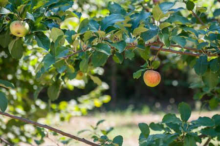 arbol de manzanas: Manzana roja en la rama de �rbol verde de fondo fuera de foco Foto de archivo