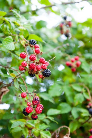 blackberry bush: Blackberry bush in garden with red and black fruits