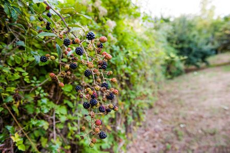 blackberry bush: Blackberry bush in garden with red and black fruits, vertical frame Stock Photo