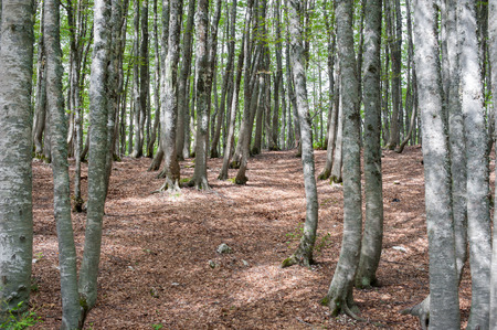 fascinating: Fascinating scenic  beech tree forest, brown leaves undergrowth and high trunks