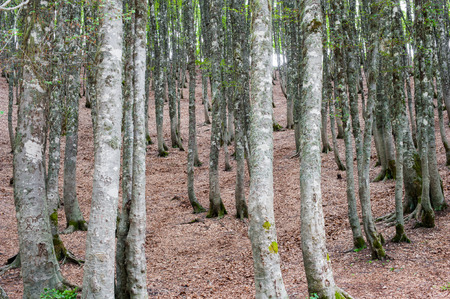 beech tree beech: Fascinating scenic  beech tree forest, brown leaves undergrowth and high trunks