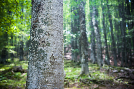 fascinating: Fascinating beech trunk close up with out of focus green woods in background