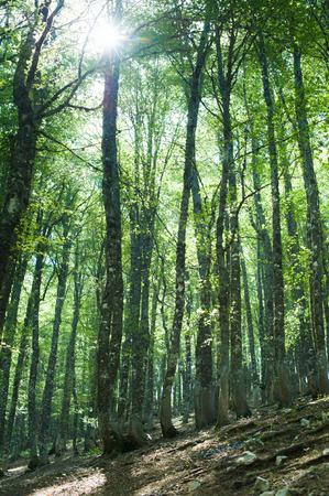 beech tree beech: Fascinating green color beech tree forest with sun coming from leaves