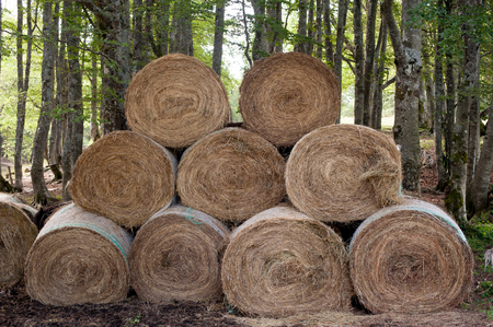 haymow: Many round haystack outdoor in farm with wood trunks in background Stock Photo
