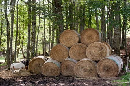 haymow: Many round haystack and horses eating with  green wood trunks in background