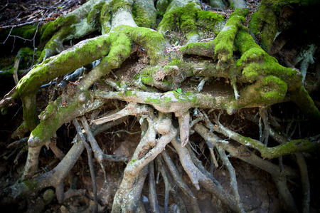 with difficulty: Green moss close up on big tree root in undergrowth, symbol of difficulty obstacle and complication