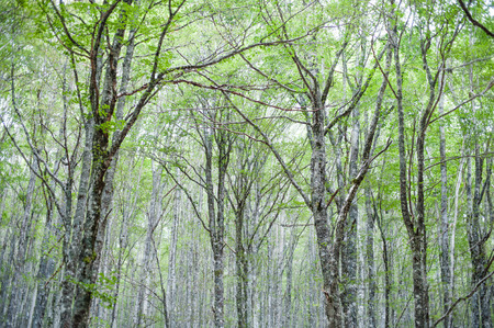 beech tree beech: Beech tree forest, green tips and leaves, high trunks, view from the ground of high tree tips