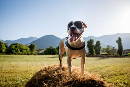 American staffordshire bull terrier domestic dog standing on straw haycock, countryside green field background, summer sunset