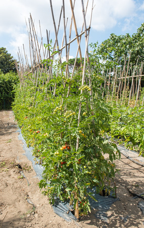 Vertical row of many cherry tomato plants with red and green mediterranean fruits in vegetable garden