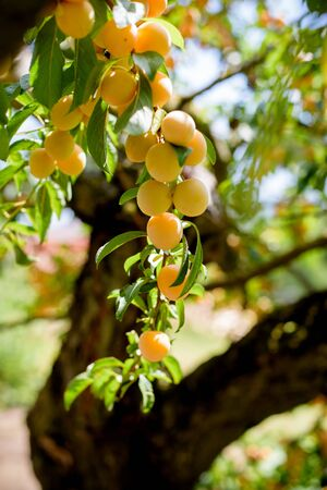 Prosperous orange plum tree loaded with abundance of ripe fruits bunch low angle view Stock Photo
