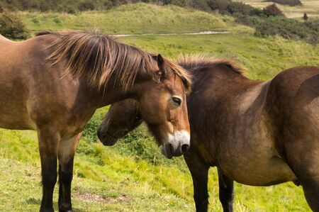 Pair of brown horses grazing